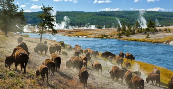 US-National-Parks-Classic-Yellowstone-Photo-8-buffalo